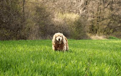 Cocker Spaniël kenmerken: ontdek alles over deze hond